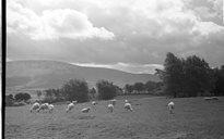 Slite Beatha agus Tíos: caoirigh