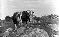 Livelihood and Housekeeping: goats