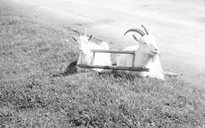 Livelihood and Housekeeping: goats